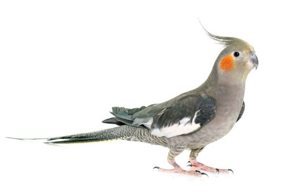 Pássaro Chico