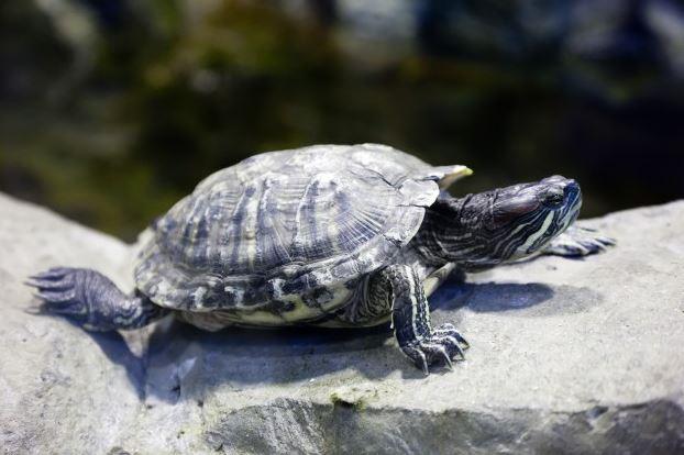 Tartaruga de estimação