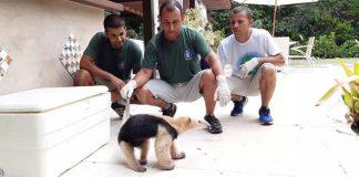 Tamanduá-mirim é resgatado em casa de condomínio de luxo