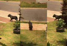 Pit bulls escapam em condomínio e moradores ficam com medo de sair de casa
