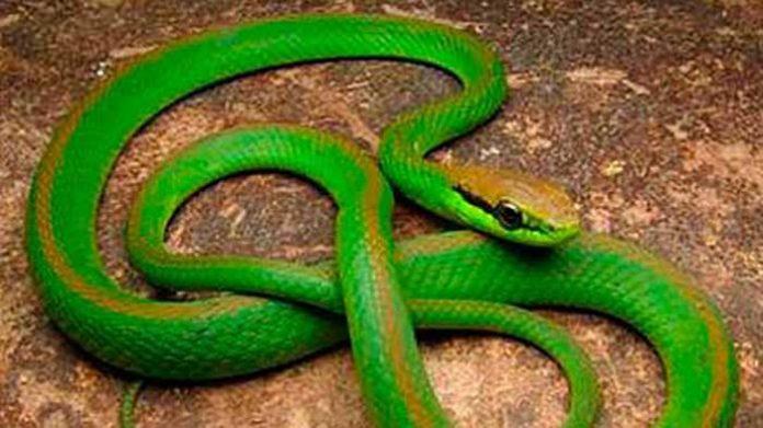 Moradores se assustam ao receber visitinha inesperada de cobra em condomínio de Anápolis.