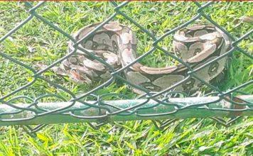 Jiboia é encontrada em condomínio da Av. Paralela, em Salvador.