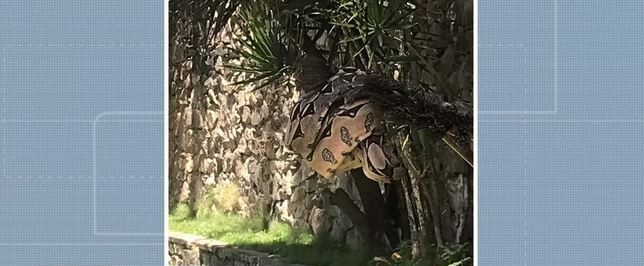 Filhote de jiboia é resgatado pelo Ibama em quintal de casa, no bairro de Jardim Armação