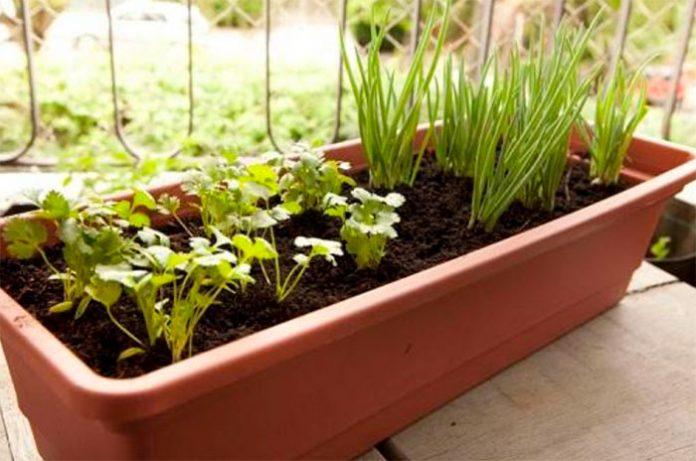 Como criar um jardim de temperos no apartamento