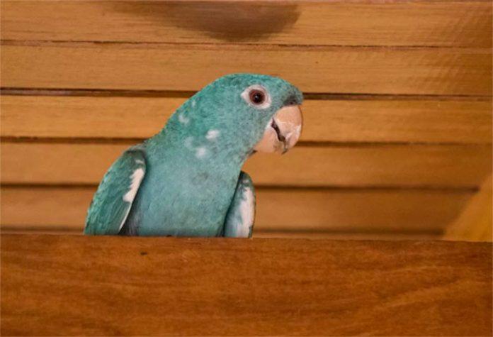 Maritaca totalmente azul surpreende moradores de condomínio em Rio Claro — Foto: Reprodução EPTV