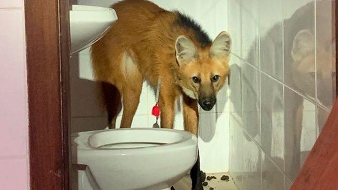 Lobo Guará invade casa em condomínio de luxo